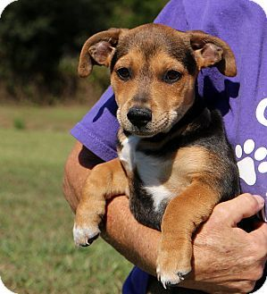 Glastonbury Ct Dachshund Jack Russell Terrier Mix Meet Tater A