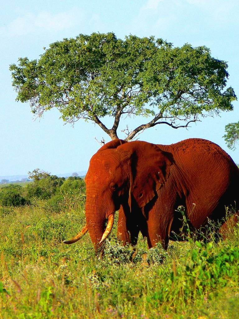 The Red Elephants of Kenya were not born this way. The dusty soil of Tsavo is naturally of this color and the elephants regularly partake of dust baths.  The dust serves as an important anesthetic to protect the elephant's skin.  It also has the added bonus of shining up their tusks in to an almost silver appearance.