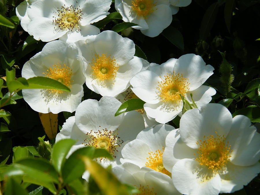 Cherokee rose ga state flower sweet fragrance of my for Cherokee rose