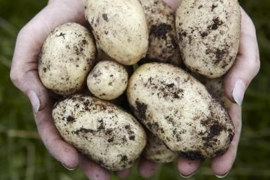 A Handy Guide to Growing Potatoes in Your Home Garden