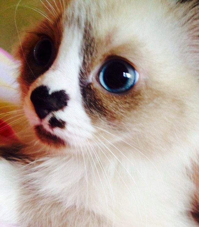 Cat With Heart On Nose With Images Cute Animals Cute Cats Cats