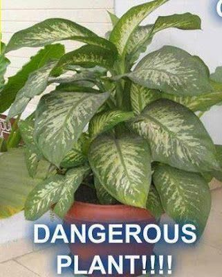 Common but dangerous household plant! Name: Dumb Cane or ... on names of house buildings, names of dracaena plants, names of plants inside, names of dry plants, names of office plants, indoor plants, names of herbaceous perennials, names of different houseplants, scientific names of plants, names of gifts, names of unusual plants, names of flowers, names of landscape plants, names of elephant ear plants, names of hibiscus, names of seashore plants, names of climbers, names of fuchsias, names of house design, names of angel plants,