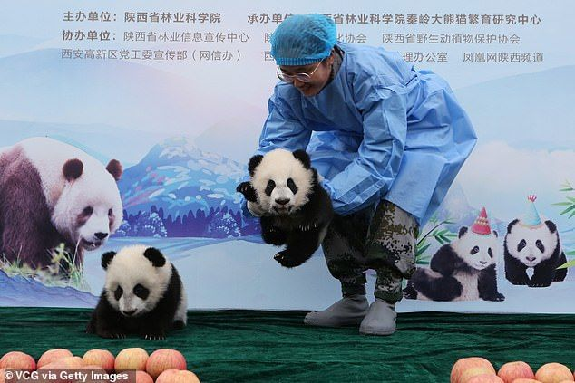 Baby panda waves at the camera as it debuts in China #babypandas Baby panda waves at the camera as it meets the public for the first time | Daily Mail Online #babypandabears