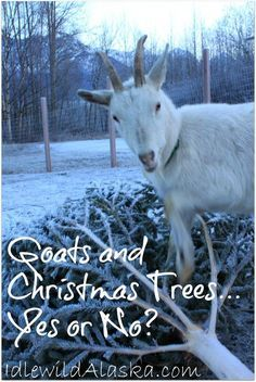Goats and Christmas Trees... Yes or No? IdlewildAlaska