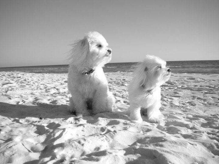 Seaside, Florida ~ Zeus and Loki {Maltese}