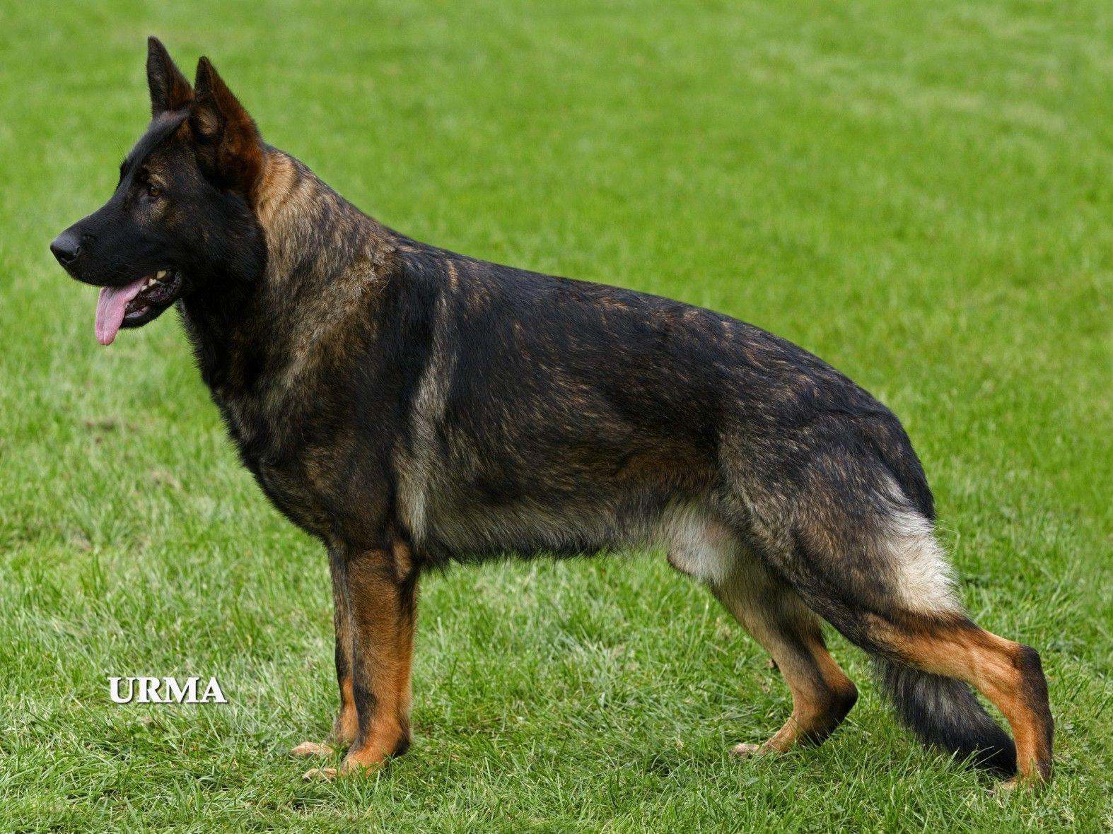 What A Nice Boy Reminds Me Of Navar Sable German Shepherd