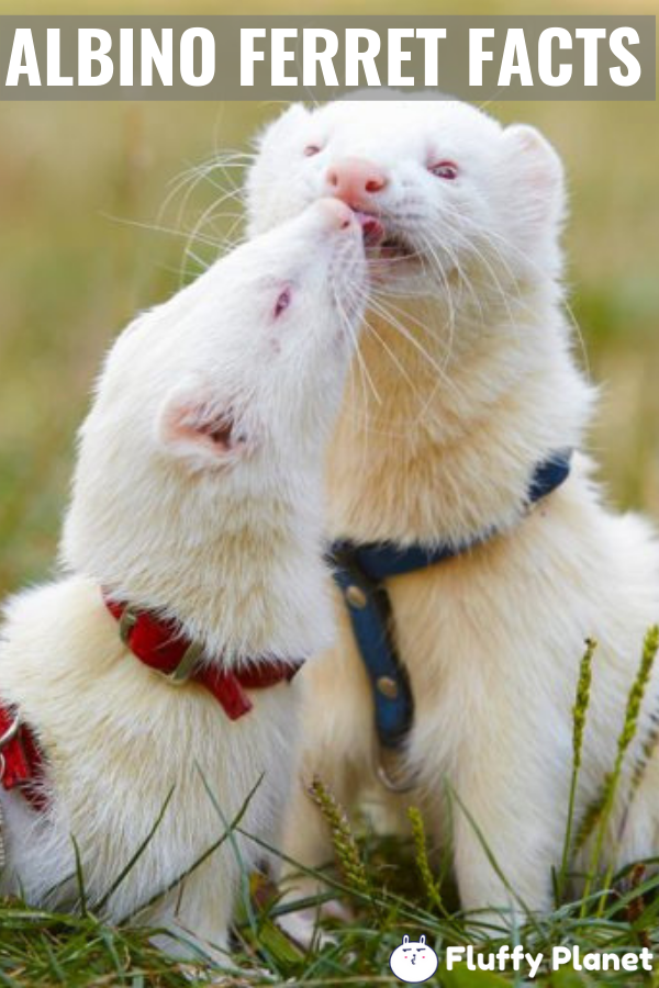 Albino Ferret Facts Info Life Span More 2020 Ferret