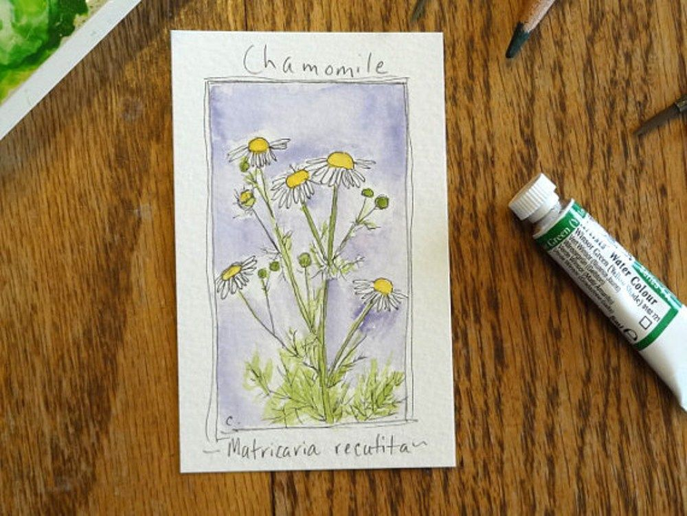 Chamomile Herb Flowers Original Illustration Drawing | countrygarden - ACEO on ArtFire