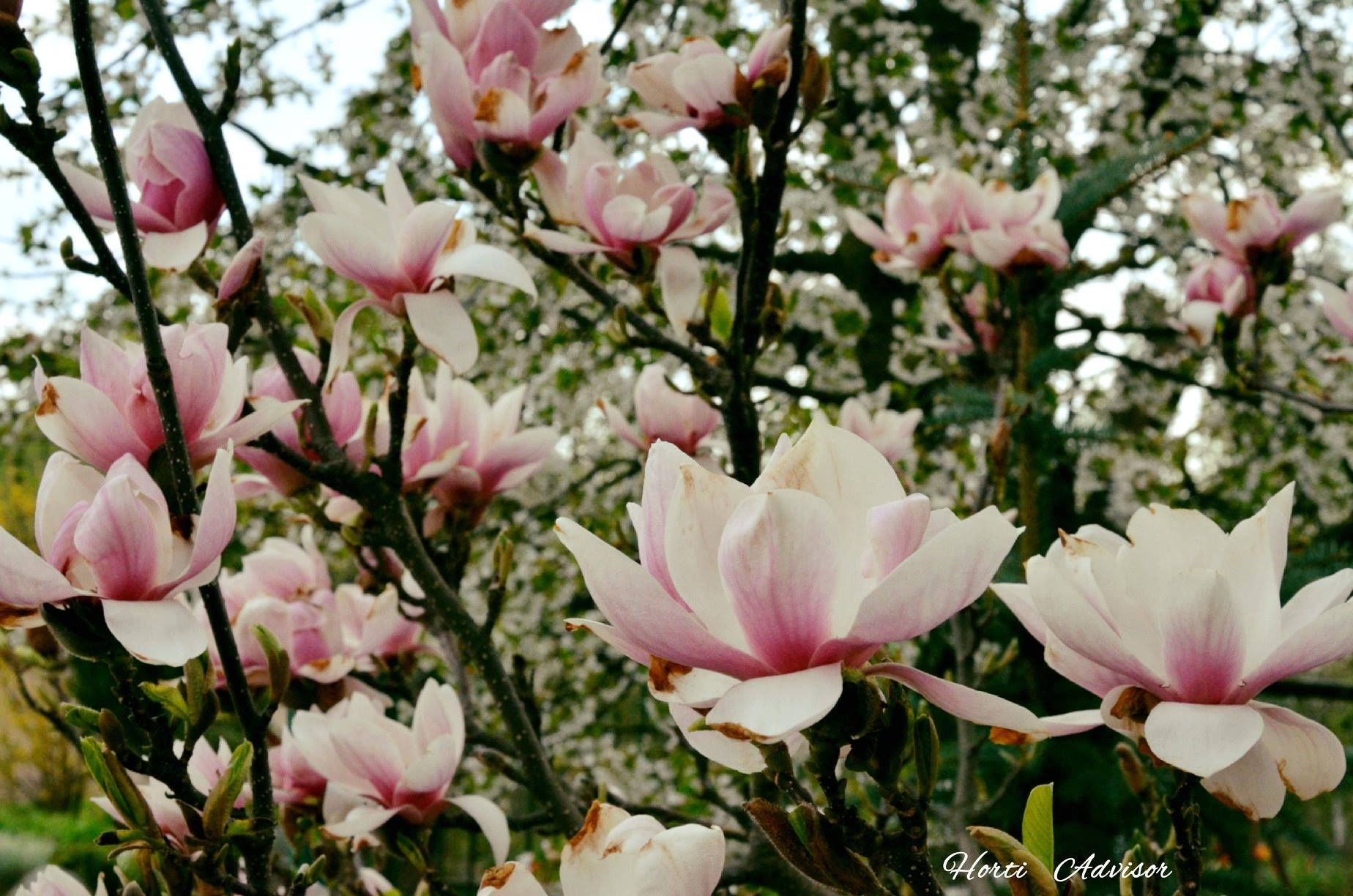 Magnolia In 2020 Plants Garden Design Magnolia