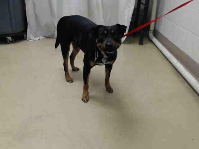 02 23 17 Super Urgent Houston This Dog Id A478294 I Am A Female Black And Brown Rottweiler Mix My Age Is Un Rottweiler Mix Animals Animal Shelter