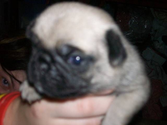 Silver Fawn Pug Puppies For Sale Adoption From Baltic Connecticut