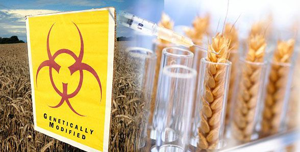GMO-alert-Eating-GM-wheat-may-destroy-your-liver-warn