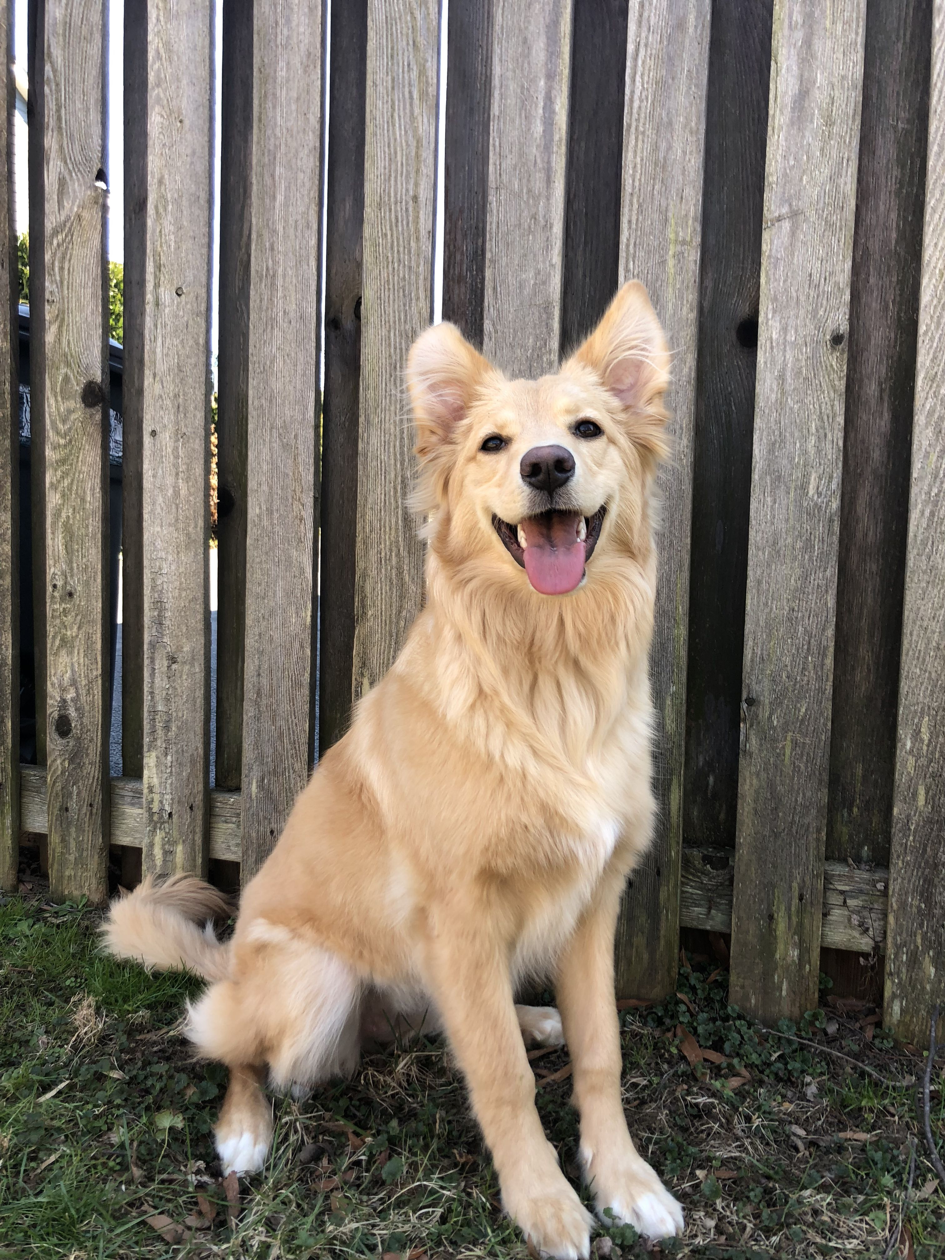 German Shepherd Golden Retriever Mix Puppies For Sale Wisconsin References