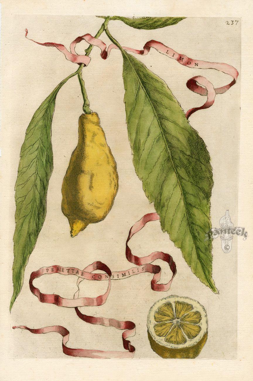 Ferrari Botanical Prints and Allegorical Prints 1638