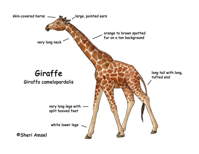 Giraffe | Giraffe -- Exploring Nature Educational Resource ...
