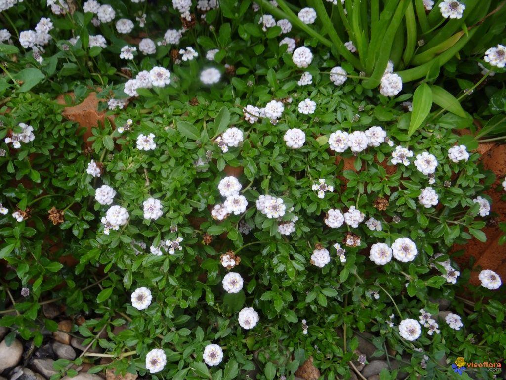 Phyla nodiflora (Lippia)