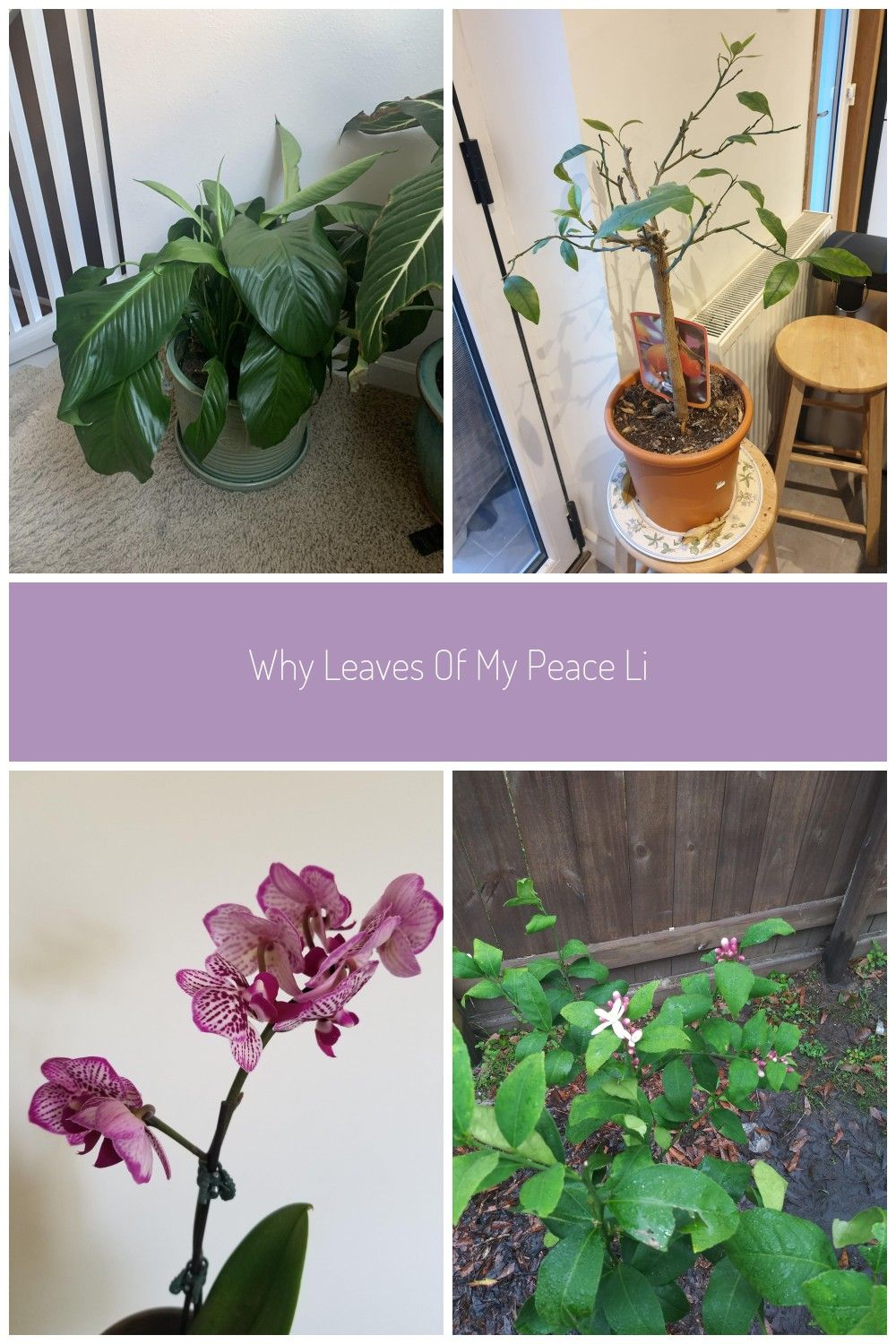 Why Leaves Of My Peace Lilly Plans Are Drooping Gardening Garden Diy Home Flowers Roses Nature Lands In 2020