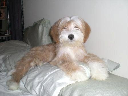 Tibetan Terrier Tibetan Terrier Terrier Puppies Cute Dogs