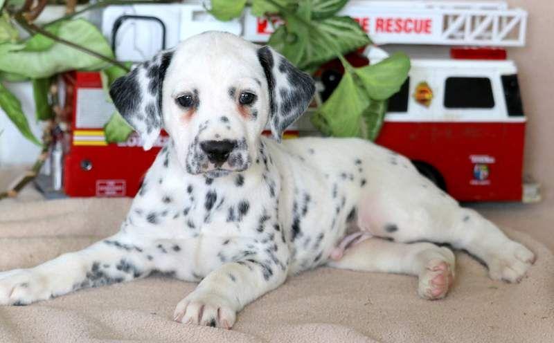 Dalmatian Puppy For Sale In Mount Joy Pa Adn 69645 On