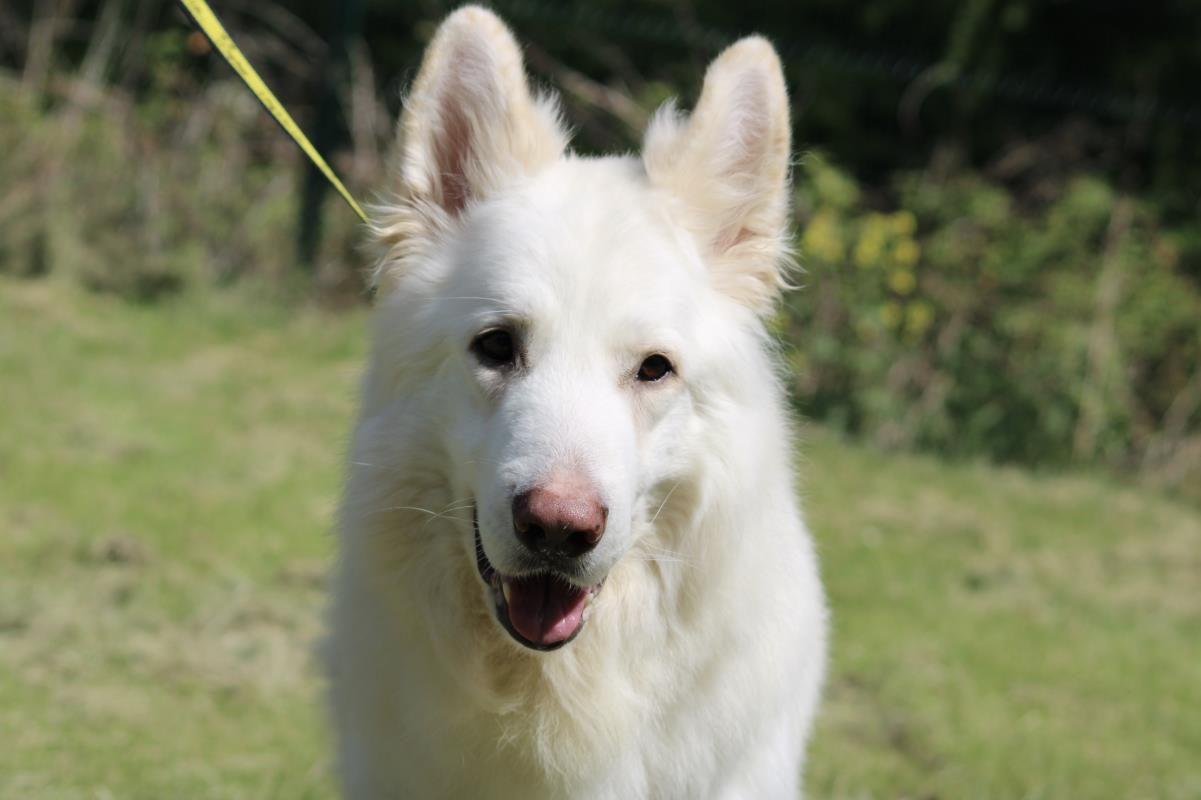 Adopt A Dog Ghost German Shepherd Dog Gsd Alsatian Dogs Trust Dog Adoption Dogs German Shepherd Dogs