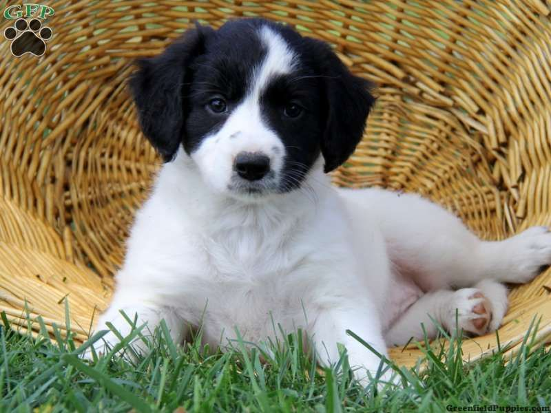 Cassie mae border collie mix puppy for sale in strasburg