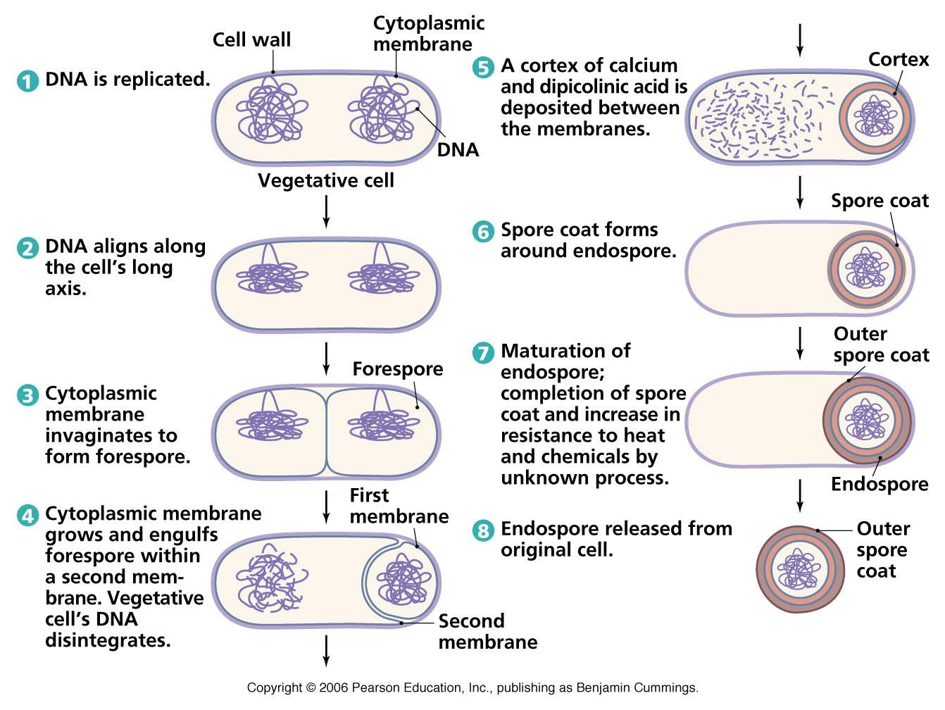 Biology Pictures Endospore Formation Microbiology Teaching Biology Cell Wall