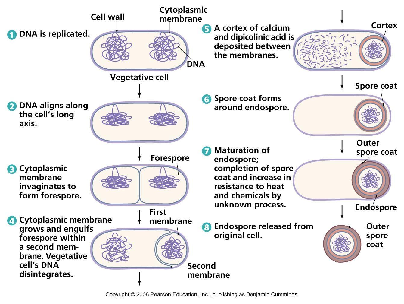 Biology Pictures Endospore
