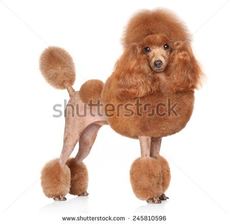 Toy Poodle In Stand On A White Background Poodle Puppies For
