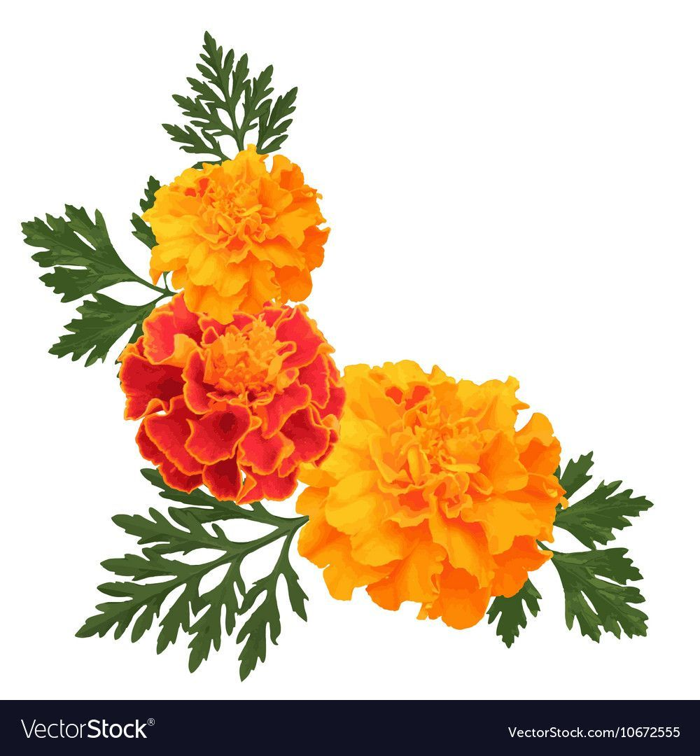 Flowers Of Marigold With Leaves Vectorstock Busqueda De Google Flor Cempasuchil Tatuaje De Palmera Flores