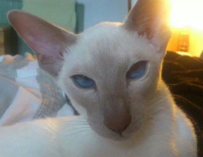 Fawn Point Siamese Cat Breeds Siamese Cats Pets