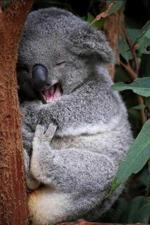 Best Koala Bear Chubby Adorable Dog - f8b2fd43d530bb742d444fad808680c2  Trends_455342  .jpg