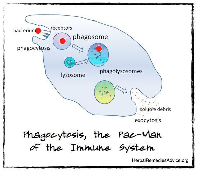 Immunity System Immunity How To Stay Healthy System