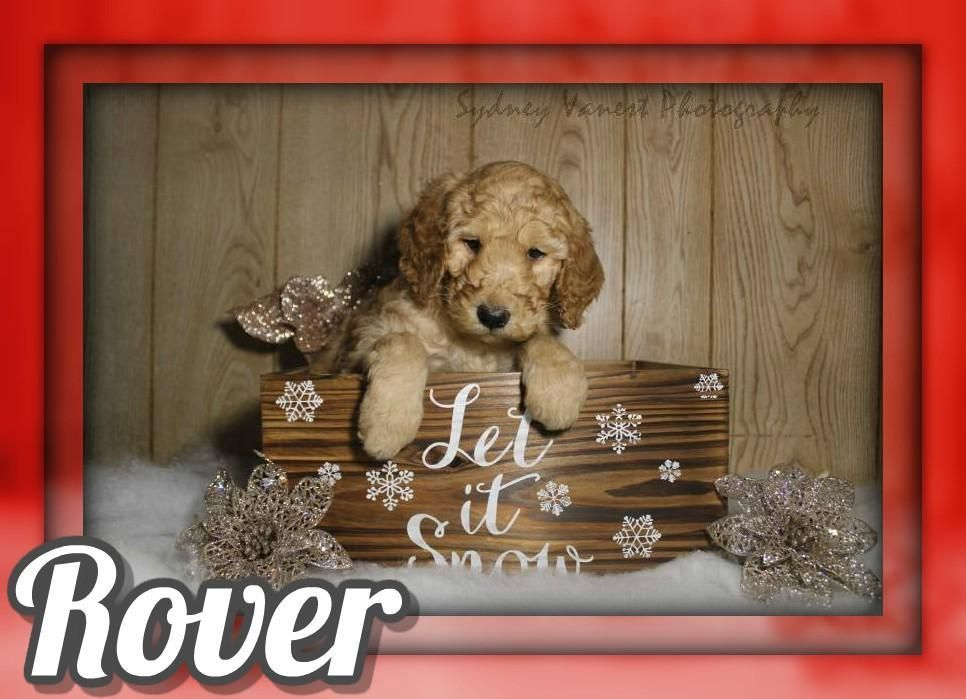 Rover Male Akc Standard Poodle 600 With Images Poodle Puppies