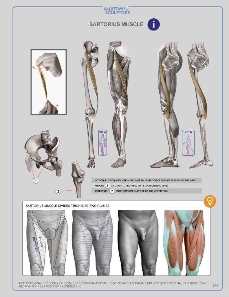 Pin de Carlos Vinade en Anatomía | Pinterest | Anatomía, Tutorial de ...