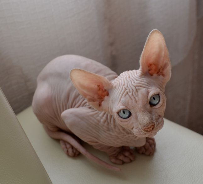 Sphynx Kitten This Looks Like My Charlie I Miss Him So Much