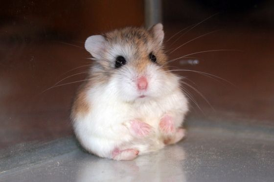 Little ball of fluff!  Roborovskis are the smallest breed of hamsters, also famous for their white eyebrows. Haha