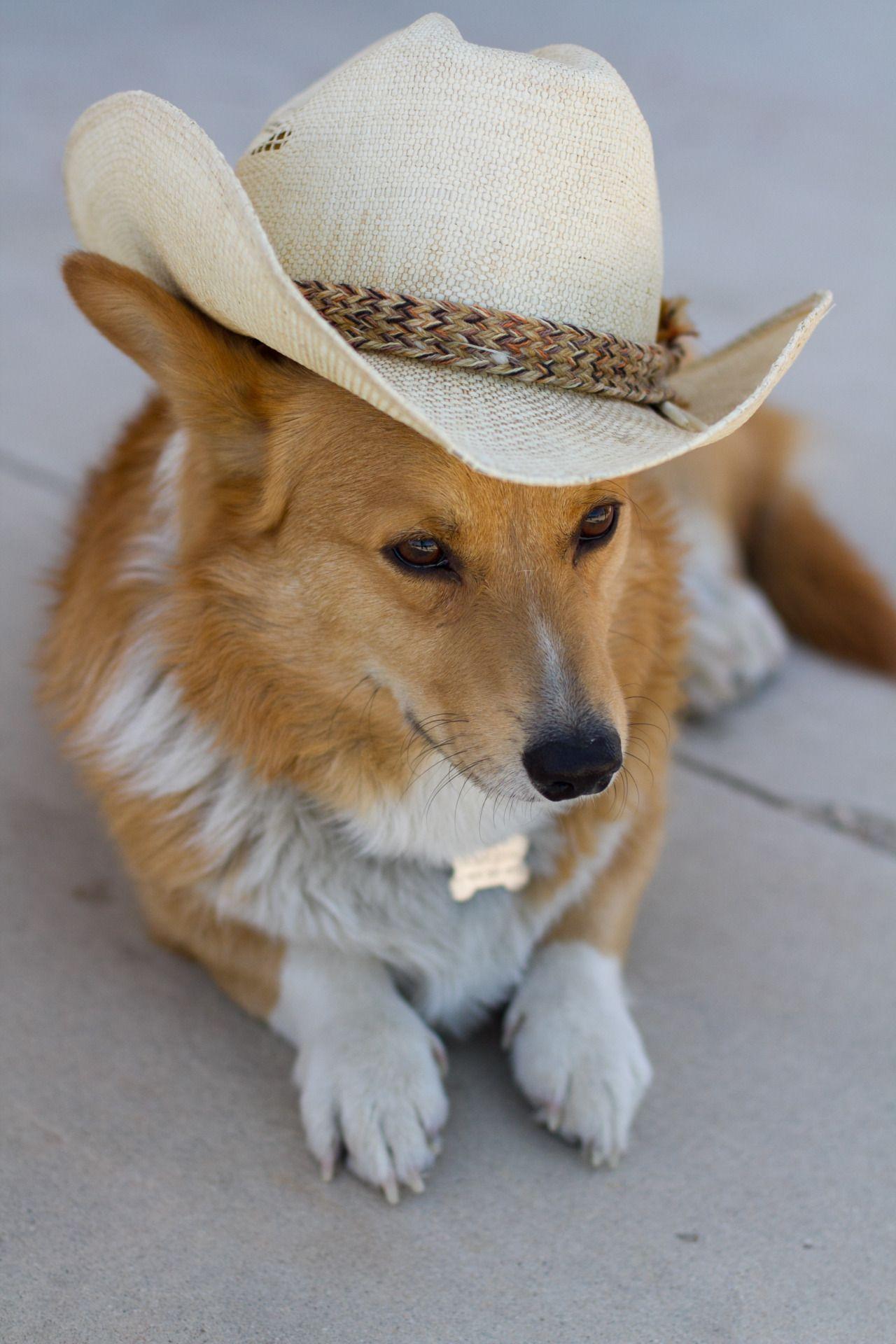 Cowboy Up Pembrokewelshcorginames Cowboy Corgi Corgi Corgi Dog