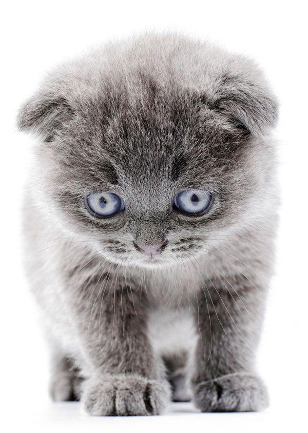 Blue Eyed Kitten Cute Baby Animals Cute Animals Crazy Cats