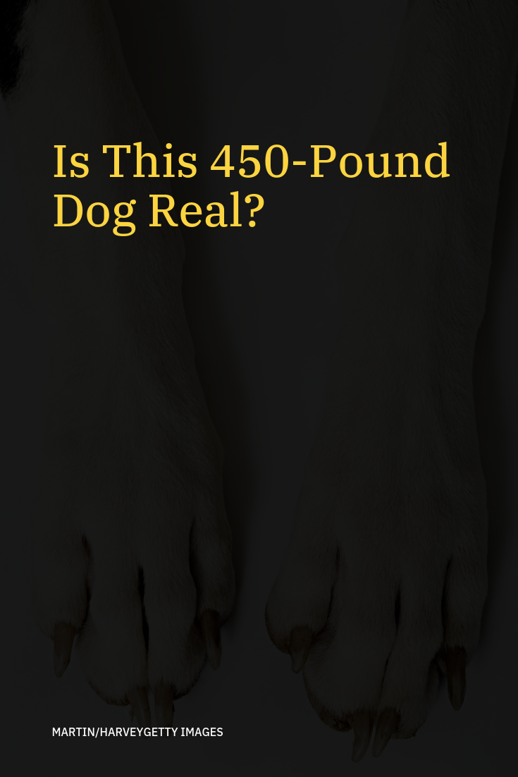 Is This 450 Pound Dog Real Giant Dogs Dogs Animal Stories