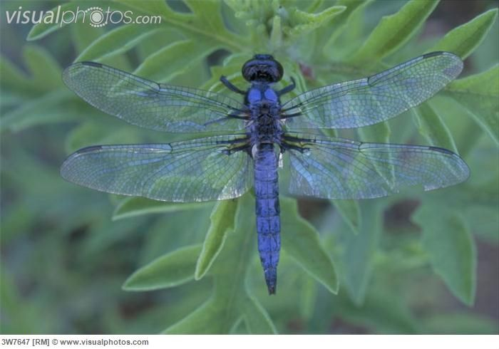 Pin by Mary Royal on Dragonflies   Gossamer wings, Mosquito