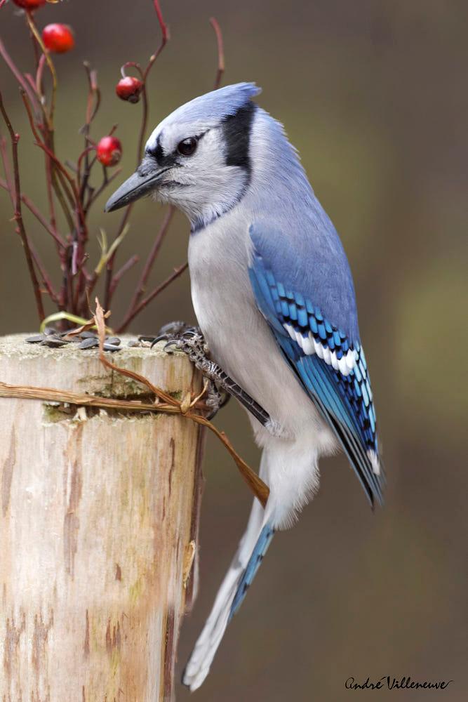 Jay And Berries Avtor Andre Villeneuve Foto 51736662 500px Blue Jay Bird Blue Jay Beautiful Birds