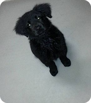 Greenlawn Ny Flat Coated Retriever Chow Chow Mix Meet Maggie