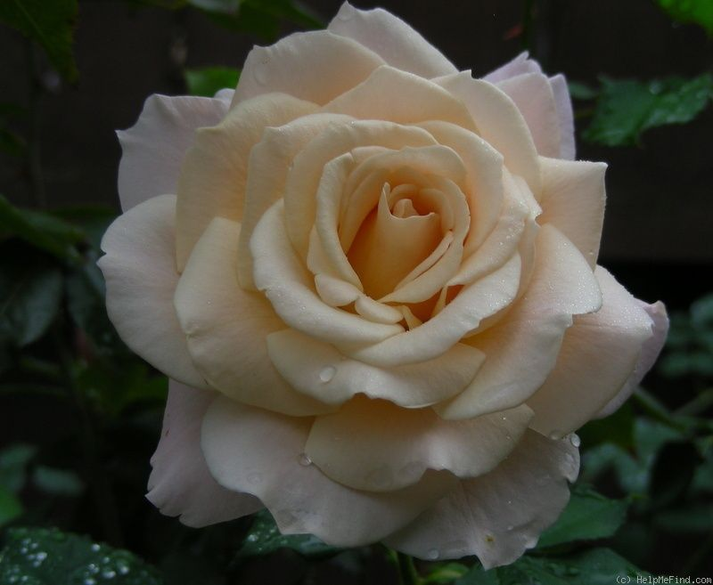 'French Lace' Rose Photo