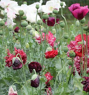 Your favorite papaver somniferum seeds buy from our poppy flower your favorite papaver somniferum seeds buy from our poppy flower catalog large selection of mightylinksfo