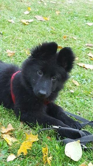 Gsd Puppy Hunde Schaferhunde Schwarzer Schaferhund