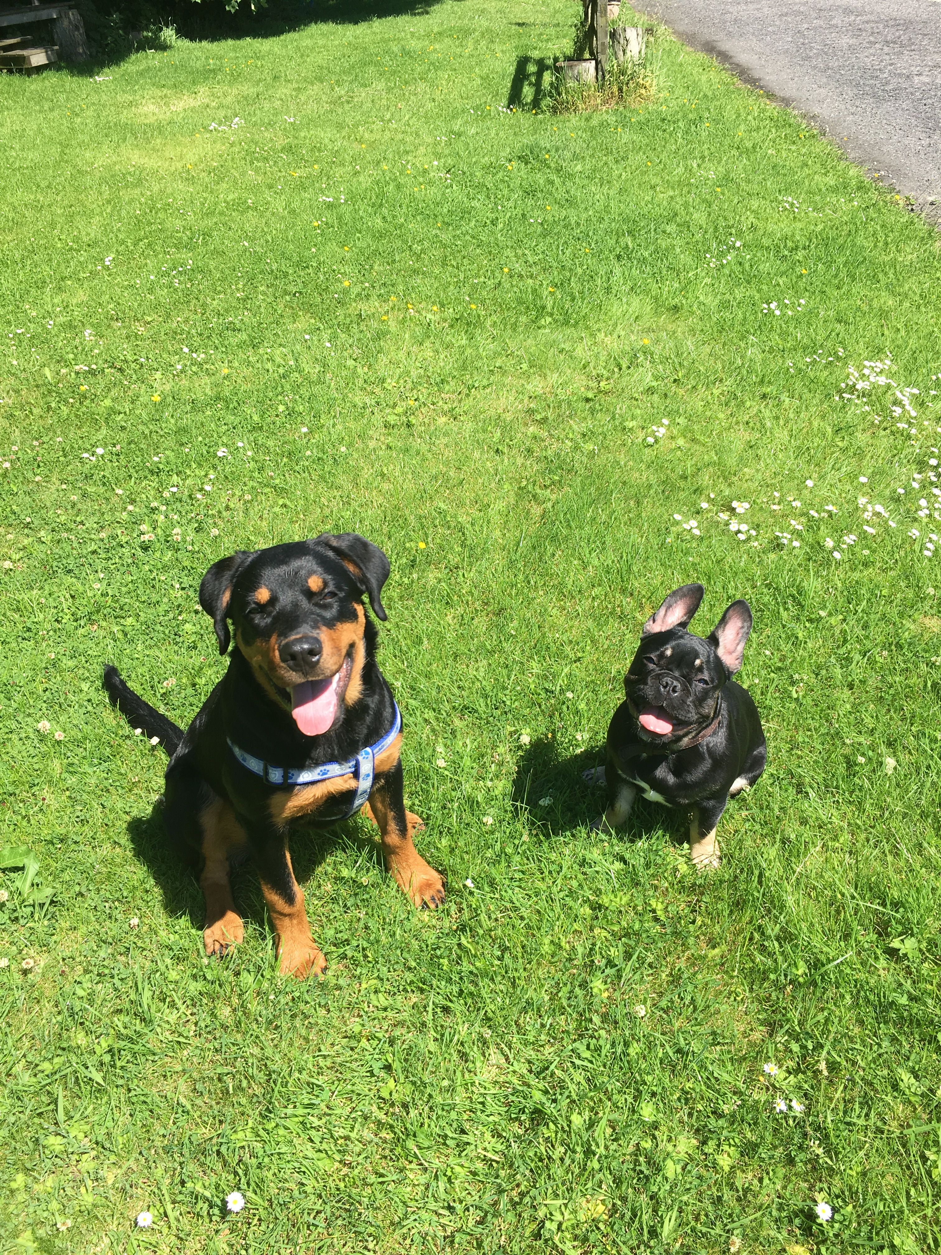 Rottweiler And French Bulldog In Beautiful Scotland Rottweiler