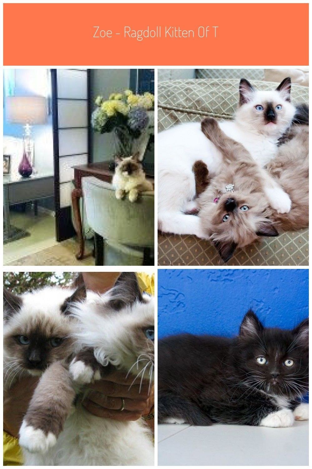 Zoe Ragdoll Kitten Of The Month Zoe Ragdoll Kitten Of The Month 4 Ragdollkittens Ragdoll Kitten Month In 2020 Ragdoll Kitten Ragdoll Ragdoll Kittens For Sale