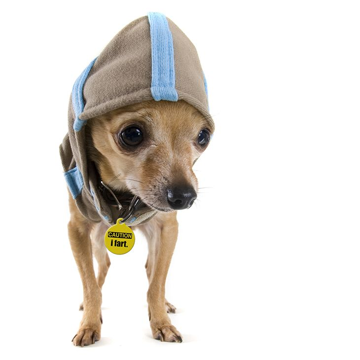 #chihuahua #dog with #wagavenue #pettag #poochlife #mansbestfriend #dogsarefamilytoo #wagwithswag #cautionifart