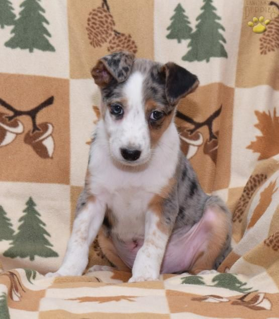Ace Australian Shepherd Mix Puppy For Sale In Baltic Oh Lancaster Puppies Australian Shepherd Mix Puppies Lancaster Puppies Australian Shepherd Mix