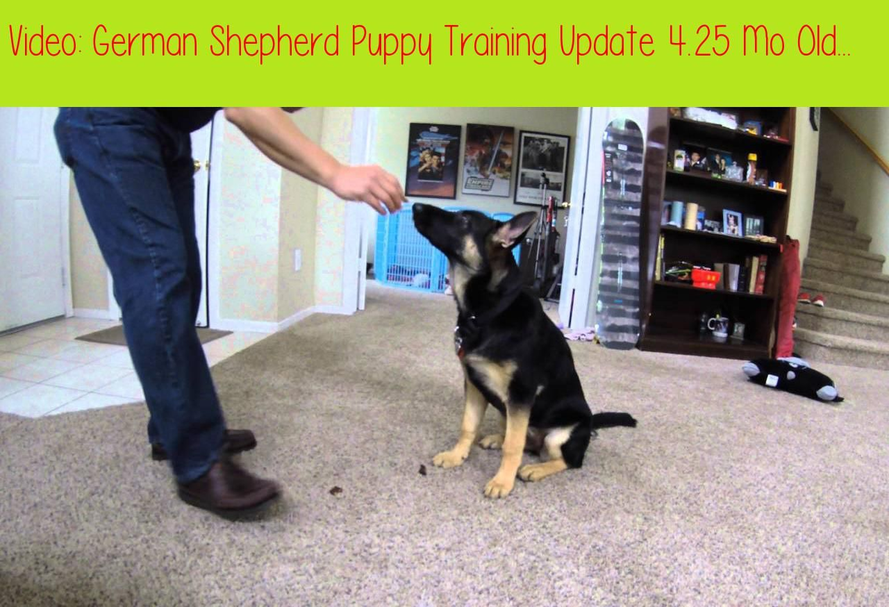 German Shepherd Puppy Training Update 4 25 Mo Old Roll Over Come
